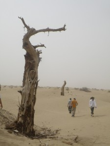 Courtesy of Aaron Putnam/University of Maine A tree in the Tarim Basi