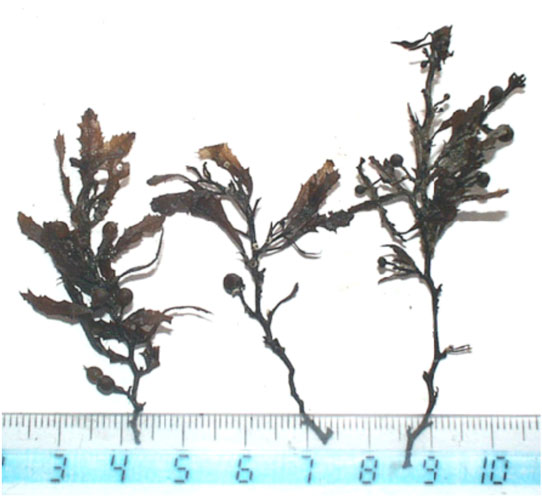 Courtesy of Ben Flower Fossilized seaweed from the Orca Basin holds clues to climate change in past eras.