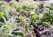 AQUAPONICS AT PLANT CHICAGO: URBAN FARMING AND A CIRCULAR ECONOMY