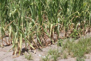 Medill Photo Parched earth took a heavy toll on the Midwest's corn crop by mid-July. Weather extremes such as drought and flooding are linked to global warming.