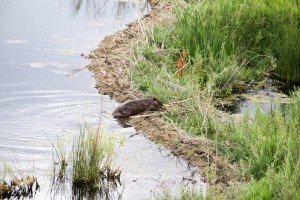 A beaver tends to a dam in Susie Creek in July 2012. (Photo credit: BLM, Elko District)