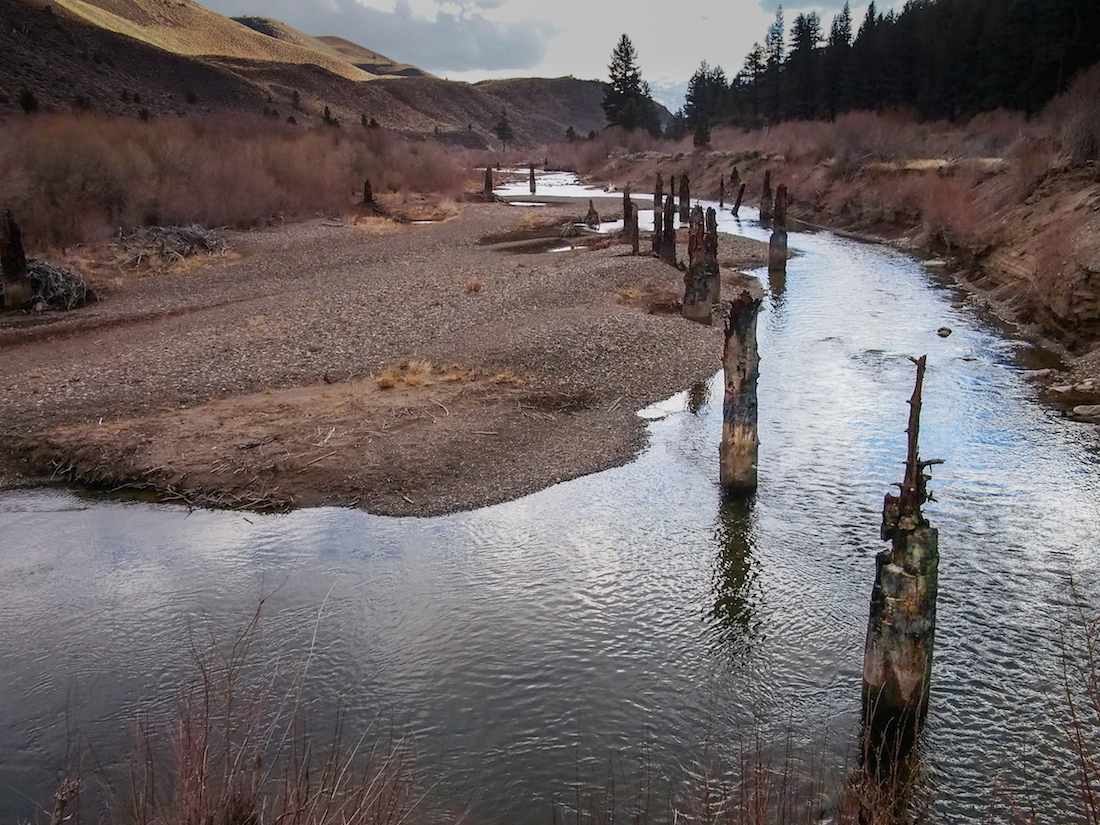 """These Pinus jeffreyi stumps on the West Walker River (dubbed the """"Stine stumps"""" after the researcher who identified them and dated them) took root in a dry medieval period before being killed by increased precipitation and subsequent flooding. Scientists say the area's medieval drought was comparable to current conditions in terms of precipitation, but warn that higher temperatures associated with the ongoing drought present new challenges."""