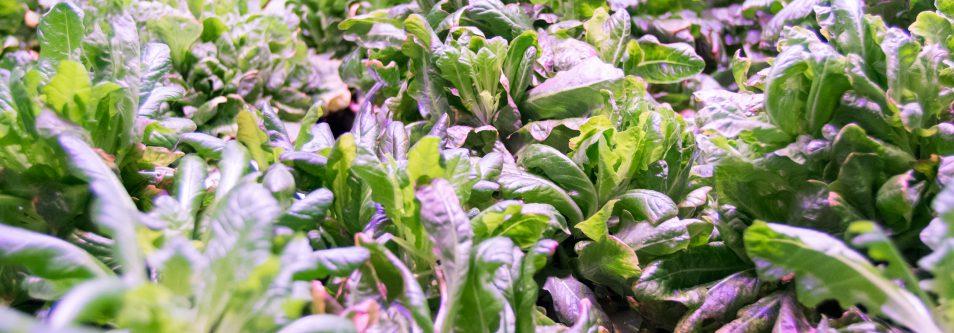 AQUAPONICS AT PLANT CHICAGO: URBAN FARMING AND A CIRCULAR ECONOMY